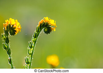 Close up of Fiddleneck (Amsinckia tesselata) wildflowers blooming on a meadow, green background; south San Francisco bay area, San Jose, California