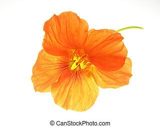 orange flower - Close-up of fine orange flower against white...