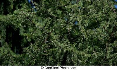 Close-up of fir branches