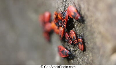close up of firebugs - close up shot of firebugs,...