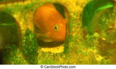 Close-up of fish swims an aquarium