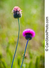 Close up of  flowering thistle.