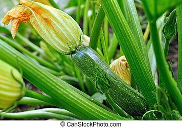 close-up of flowering zucchini - flowering zucchini in the...