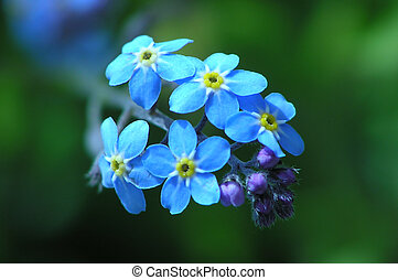 forget me not  - Close-up of forget me not as a blue wonder