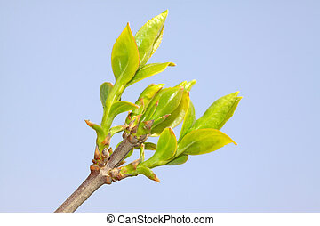 forsythia bud - close up of forsythia bud, growing in early...