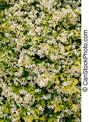 Close-up of fragrant jasmine during flowering. High quality photo