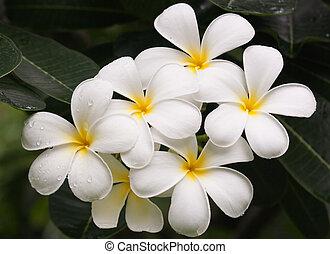 Close up of frangipani flower or Le