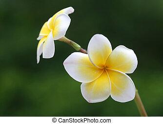 Close up of frangipani