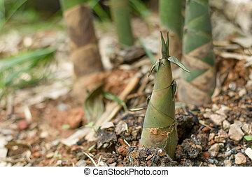Close up of fresh Bamboo shoot.