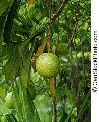 Close up of fresh Cerbera odollam Gaertn on tree.