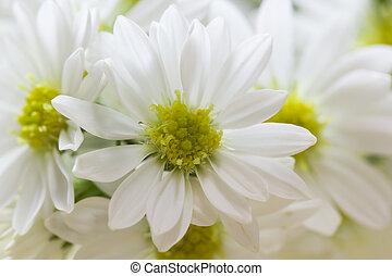 close up of fresh Chrysanthemum, selective focus