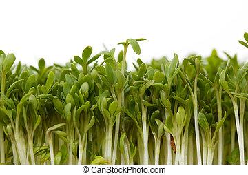 Close-up of fresh garden cress