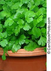 green cilantro - close-up of fresh green cilantro plants in...