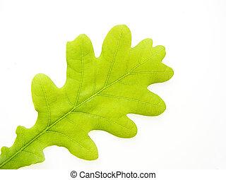 oak leaf - Close-up of fresh green summer oak leaf on white...