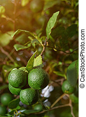 Close-up of fresh limes