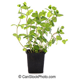 Close up of fresh mint in a pot over a white background