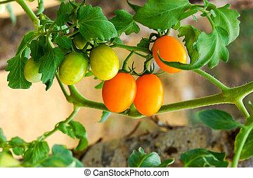 Close up of fresh orange tomatoes still on the plant