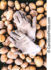 Close up of fresh potatoes. and dirty gloves.