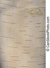 Close up of fresh silver Birch