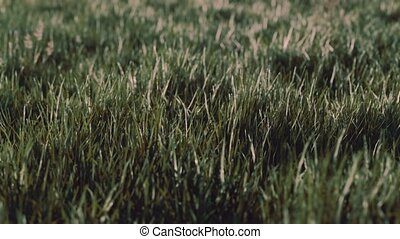 Close up of fresh thick grass in the early morning