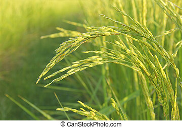 fresh weed in rice fields