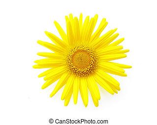 yellow daisy - Close-up of fresh yellow daisy on white ...