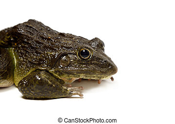Close up of Frog isolated on a white background