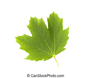 CLOSE UP OF FRONT OF MAPLE LEAF