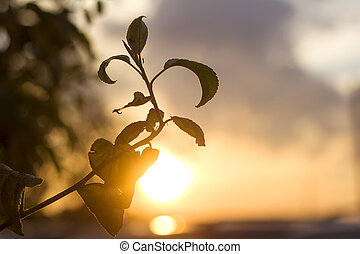 Close-up of fruit tree sprout with big dark shiny green leaves on blurred misty background of cloudy sky and bright sun. Beauty of nature, gardening concept.