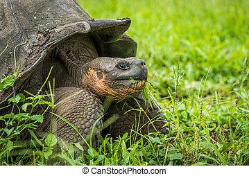 Close-up of Galapagos giant tortois