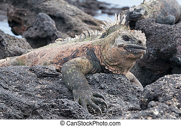 Close up of Galapagos marine iguana at rest
