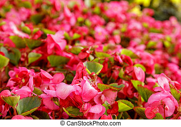 Close-up of garden bed of bright pink flowers in sunlight. Scenic flowerbed in park on a summer sunny day. Soft focus. Blurred floral background. Botanical photography. Gardening concept.