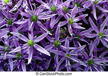 Garlic purple flower