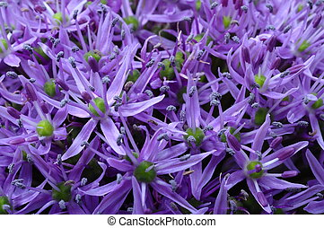 Garlic purple flower
