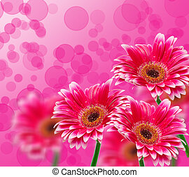 gerber flower - Close up of gerber flower