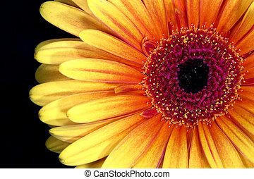 Close up of Gerbera flower head