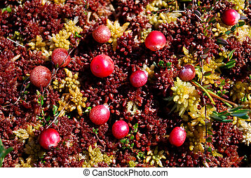 close-up of german cranberries growing on moss