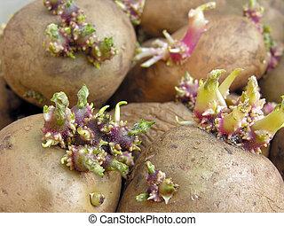 close-up of germinating potatoes