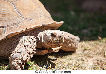 Close up of giant tortoise
