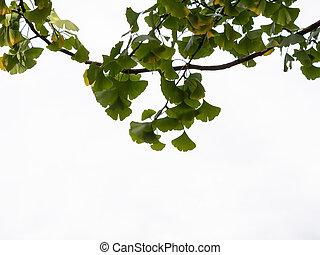 Close-up of Ginkgo Tree Leaves, Ginkgo Biloba