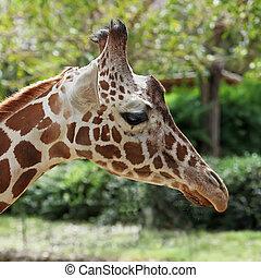 close up of giraffe face