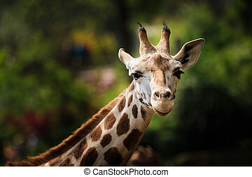 Close-up of giraffe looking in the camera