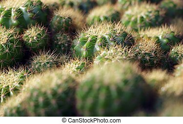 Close up of globe shaped cactus with long thorns (selective focus point).