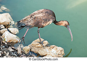 Close up of glossy ibis