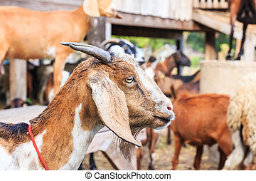 Close up of goat in the farm