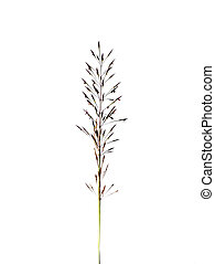 Close up of gold beard grass flower on white background
