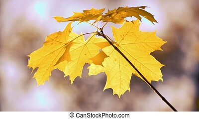 Close up of golden maple tree leaves.