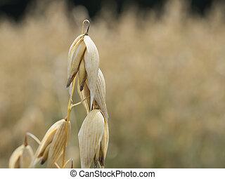 oat plants