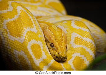 Close up of Golden Thai Python, focus at eyes