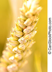 Close-up of golden wheat cereal grain